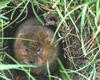 One of the Green Park watervoles